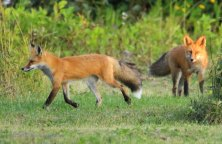 Red Foxes - Doug Boyce
