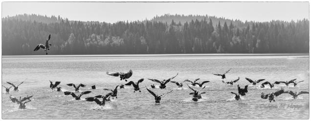 Goose Flight - DMHopp