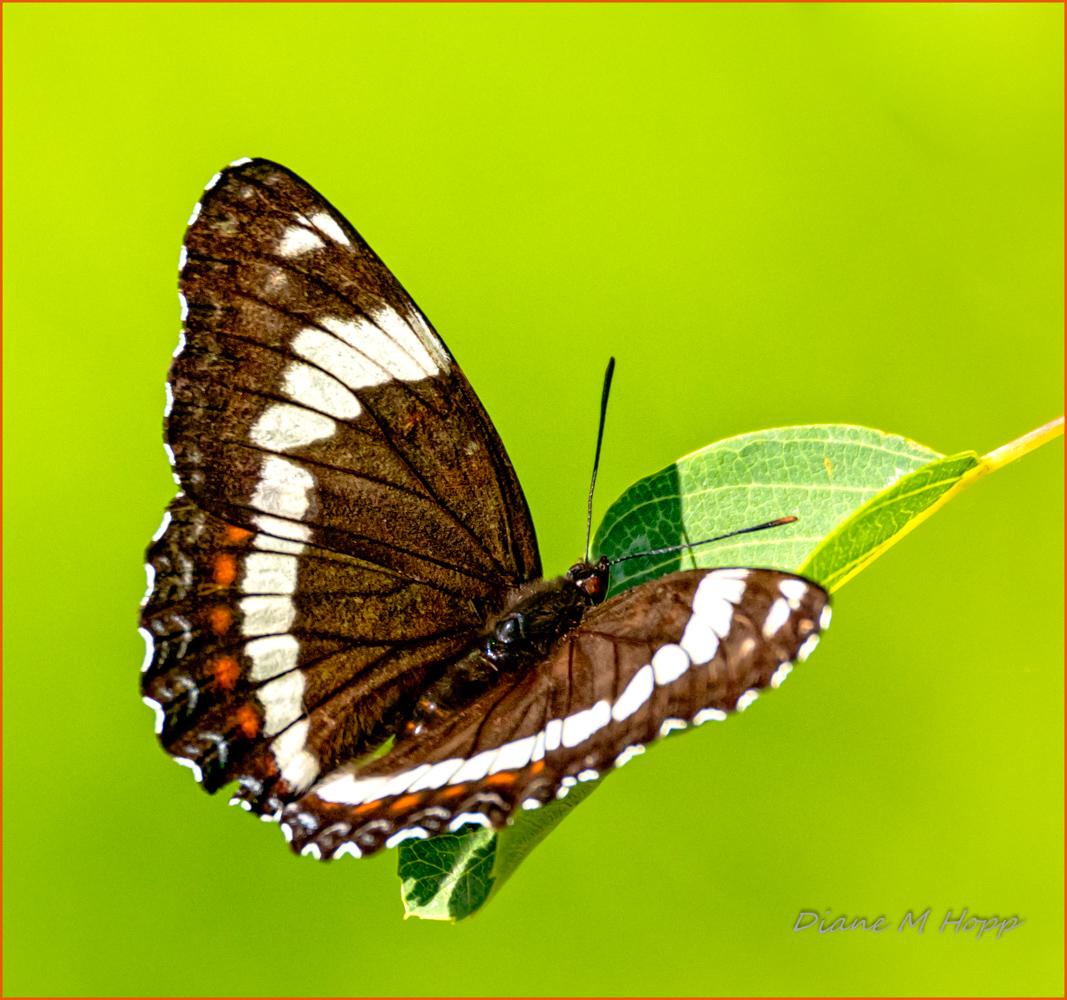 White Admiral Butterfly - DMHopp-1