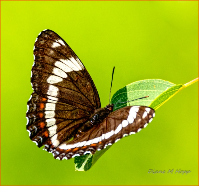 White Admiral Butterfly - DMHopp-1