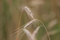 Wild Wheat - Doug Boyce