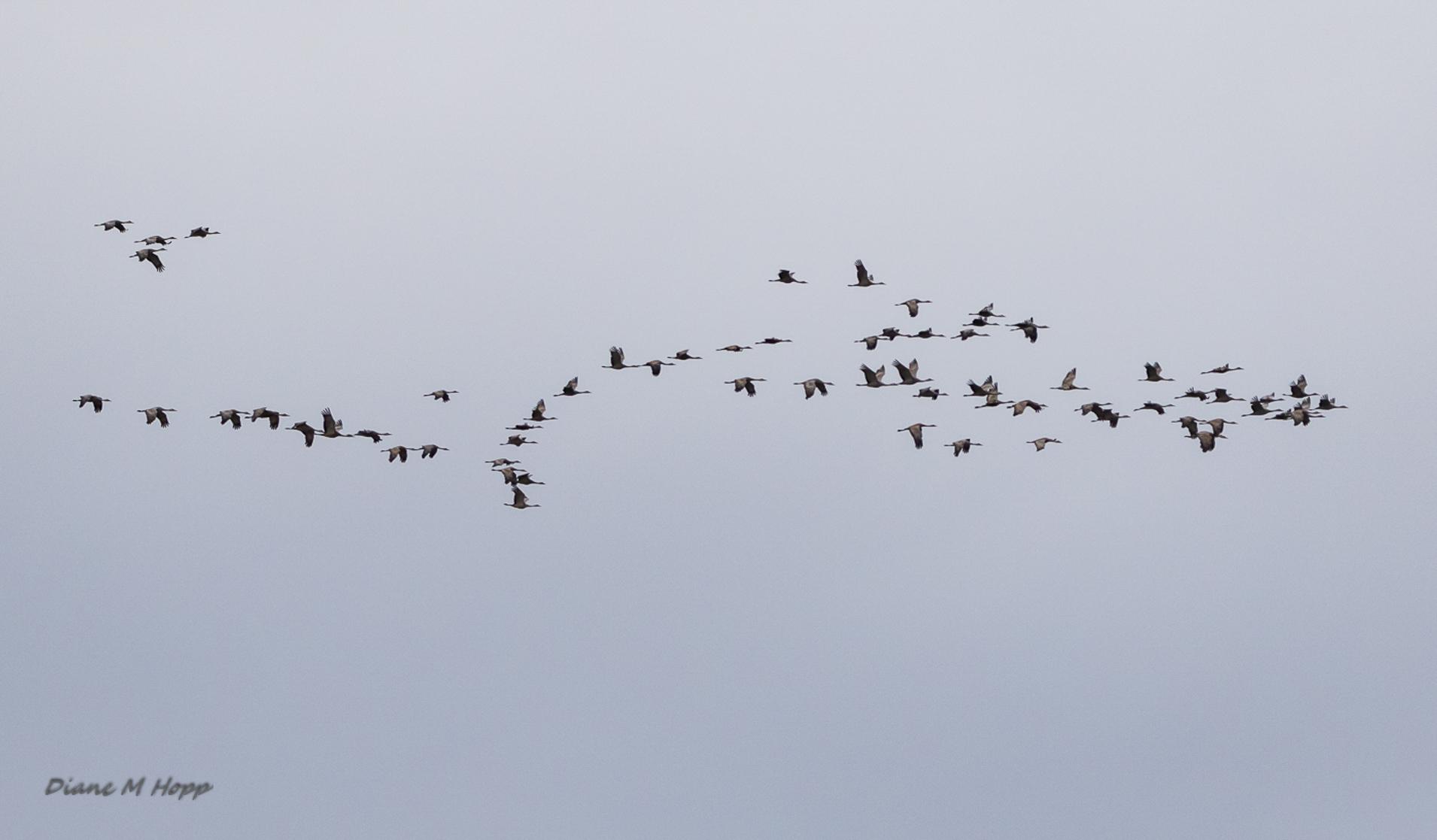 A Migration of Sandhill Cranes - DMHopp