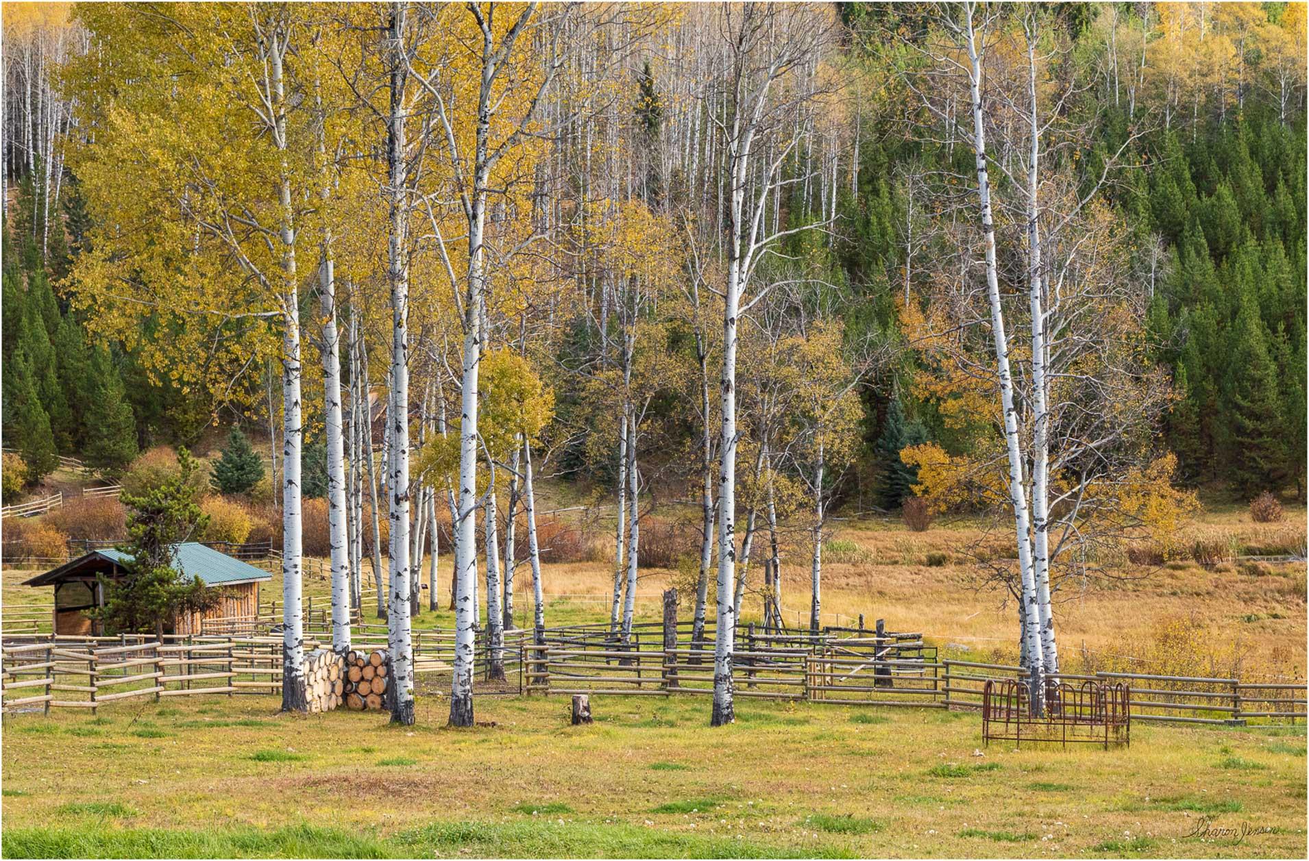 Aspens-Autumn-Wolf Valley2 - © Sharon Jensen