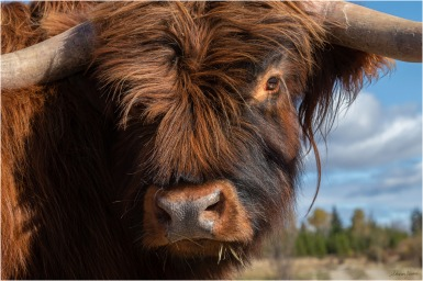 Dickens-Highland Steer - © Sharon Jensen