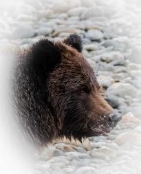 Grizzly Head Shot - Derek Faiers