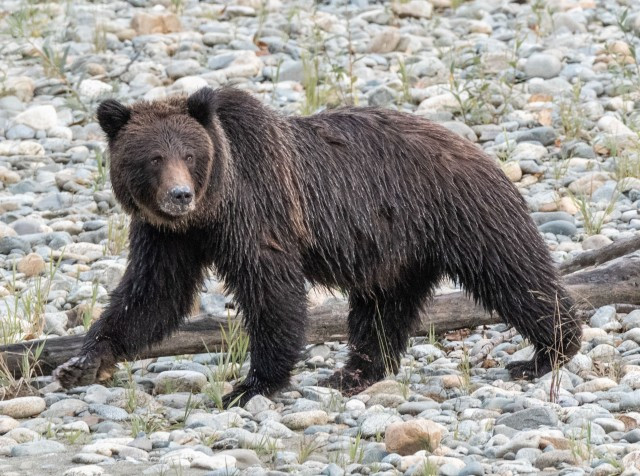 Grizzly - Derek Faiers