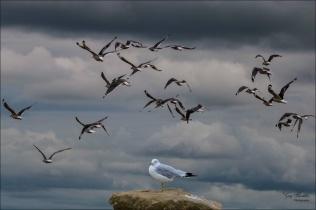 Flock of Gulls- Gary Hardaker