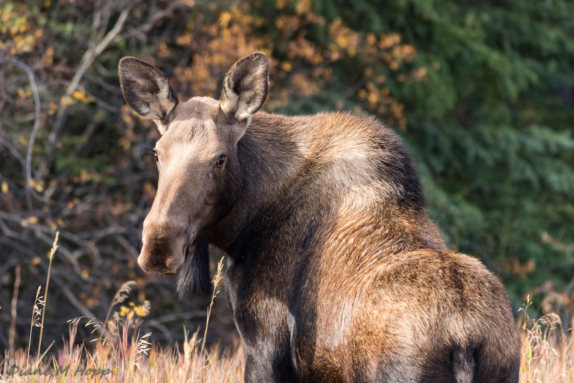 Moose Cow on the Roadside - DMHopp