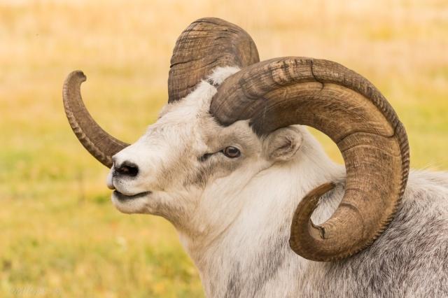 Yukon Trip - Dahl Ram at Yukon Wildlife Preserve