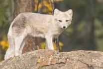 Yukon Trip -Arctic Fox at Yukon Wildlife Preserve