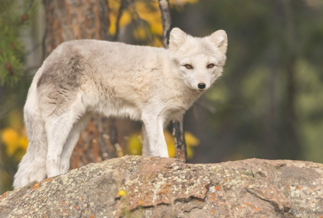 Yukon Trip -Arctic Fox at Yukon Wildlife Preserve