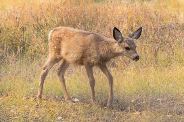Yukon Trip - Mule Deer Fawn at Yukon Wildlife Preserve