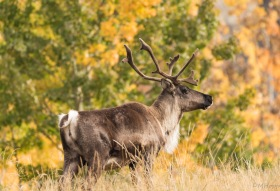 Woodland Cariboo Bull at Yukon Wildlife Preserve
