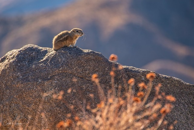 Antelope Squirrel-CJJ