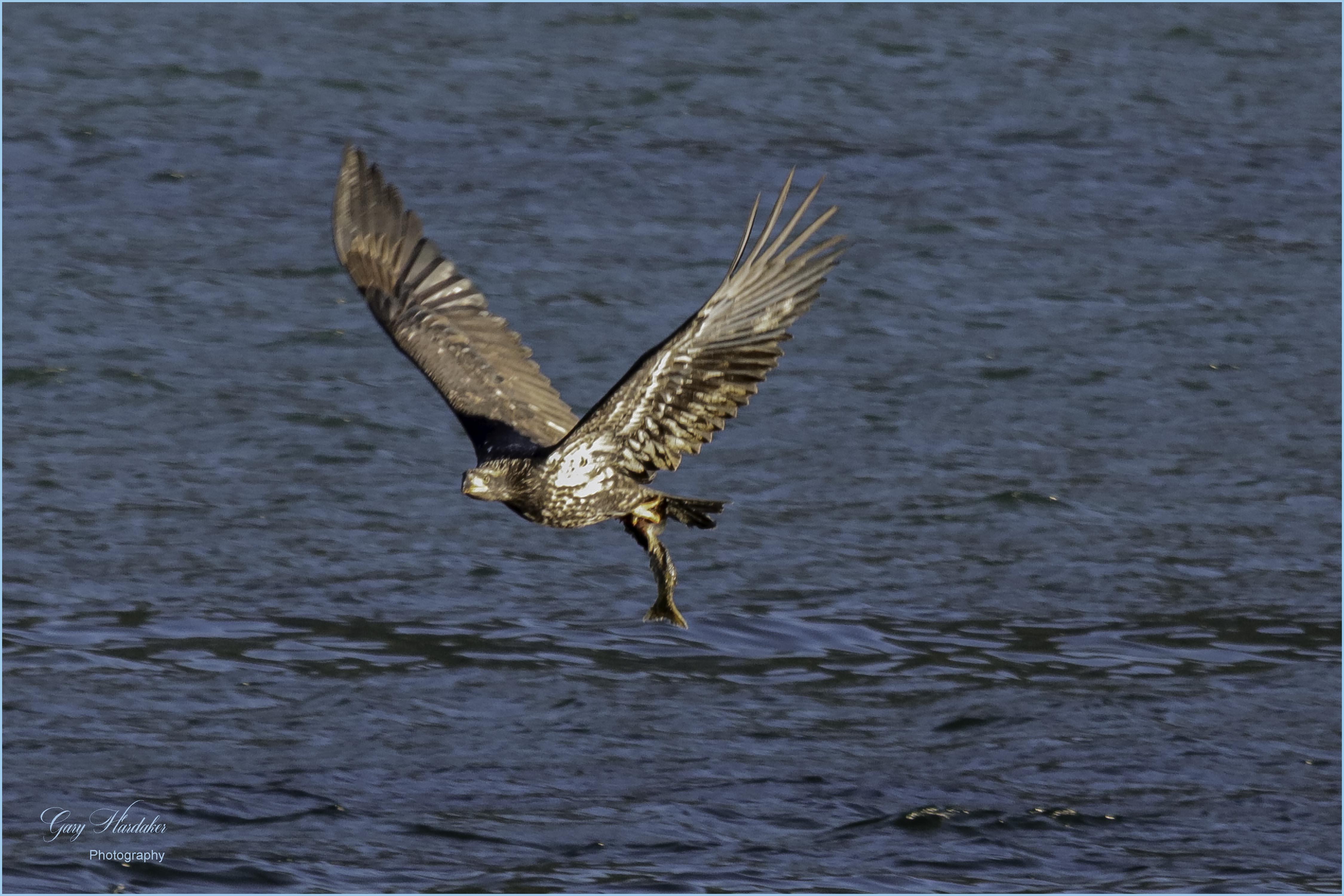 Bald Eagle with Fish- Gary Hardaker