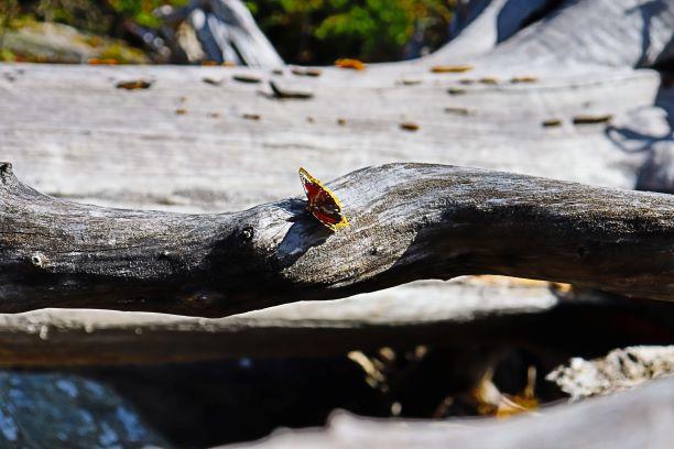 butterfly - Cliff Thirsteinson
