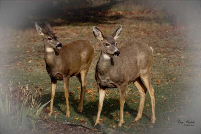 Deer Alert- Gary Hardaker