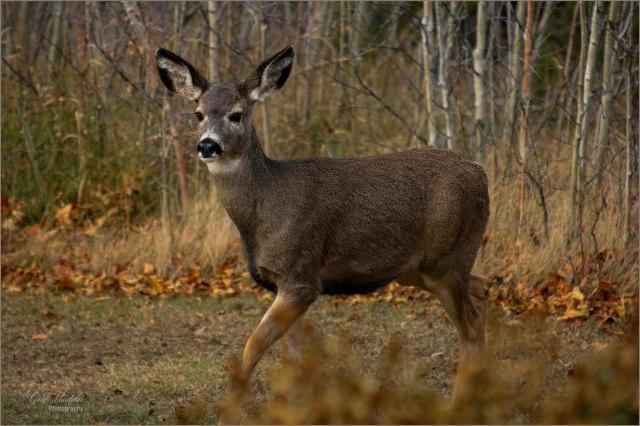 Deer- Autumn yard scene- Gary Hardaker