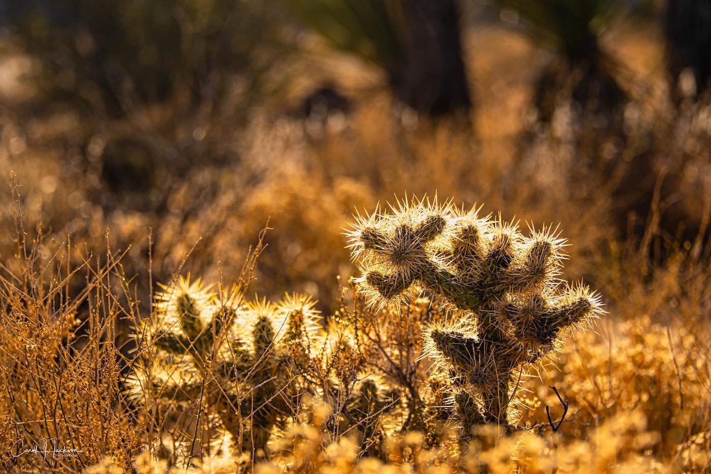 Lighted Cholla Cacti-CJJ