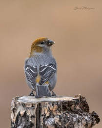 Pine Grosbeak_GMP9265-002 - Gloria Melnychuk