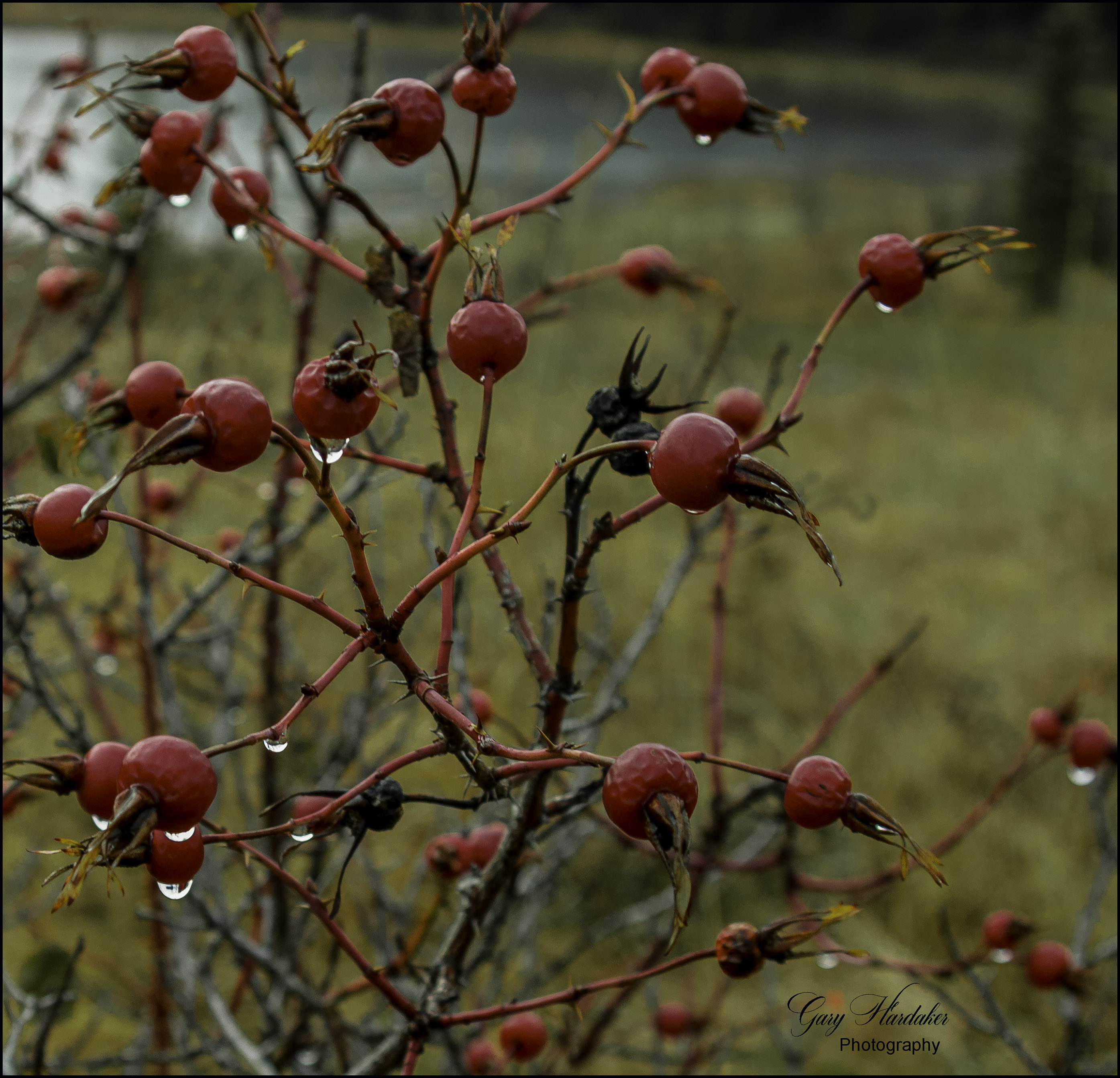 Raindrops on roses (rose hips that is)- Gary Hardaker