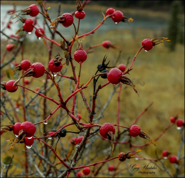 Raindrops on roses (rose hips that is)- Gary Hardaker