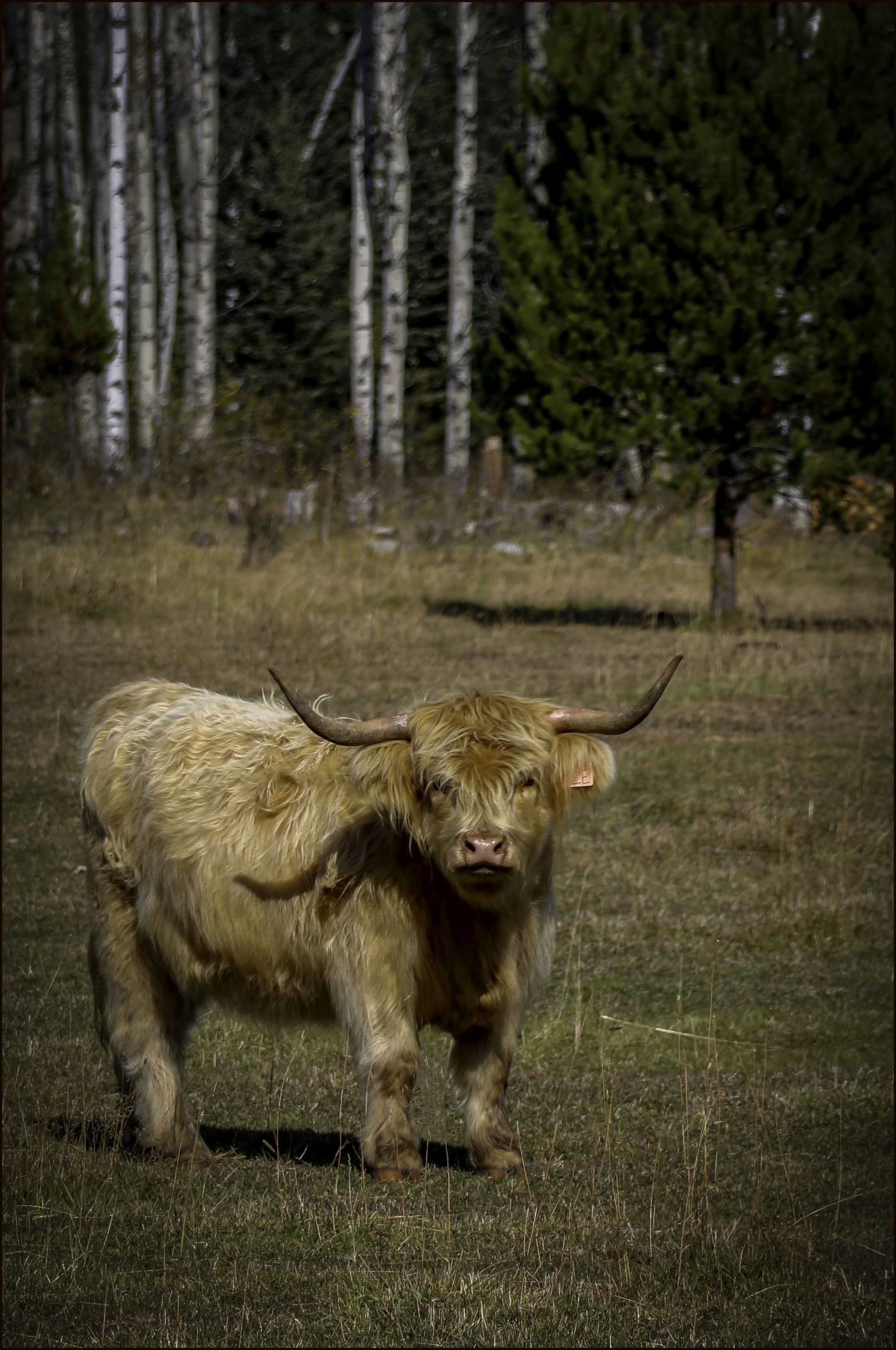 Wolf Valley- Highland Cow- Gary Hardaker