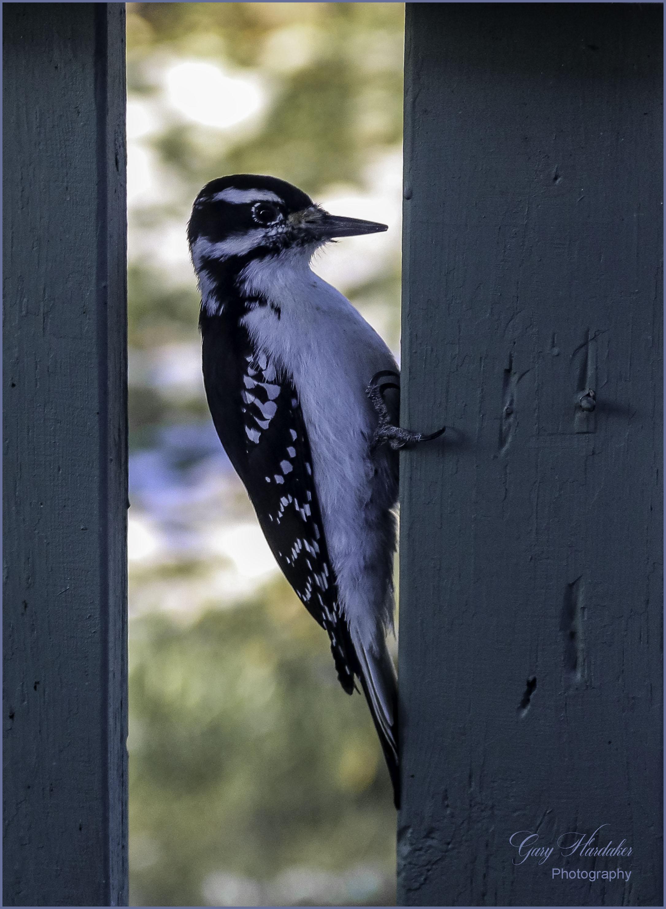Woodpecker at work (on house)- Gary Hardaker