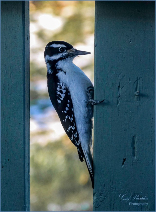 Woodpecker at work (on house)- Gary Hardaker