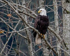 Bald Eagle at Harrison River- Gary Hardaker