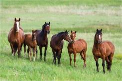 Feral Horses_DSC0774-058 - Gloria Melnychuk