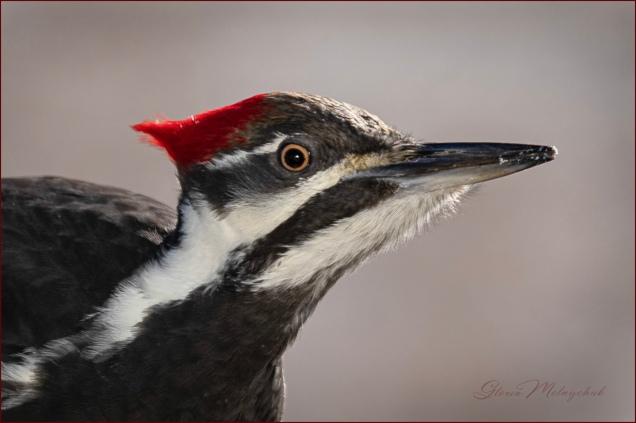 Pileated Woodpecker_GMP9325-041 - Gloria Melnychuk