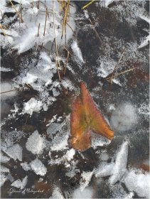 01 Fall Leaf in Ice - Gloria Melnychuk - 20191203_103636 - Colorful Fall Leaves (single or many) on or in water or ice