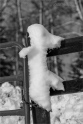 24 Snow Drifts - Gloria Melnychuk_WGP2740-166 - Soopy the snow dog