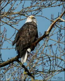 Bald Eagle at Lookout- Gary Hardaker