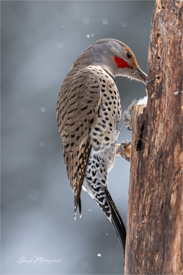 Northern Flicker_GMP9613-016 - Gloria Melnychuk