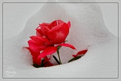scavenger hunt # 4 signs in the snow of a previous event. poppies left at rememberance day surrounded by a snow drift in January copy1 - Nancy C. _
