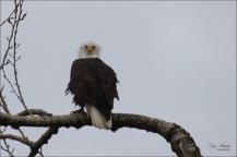 Young Eagle at Kilby- Gary Hardaker