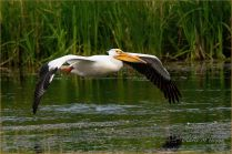 Example - Topaz AI applied - (Scavenger Hunt #21 - Bird in Flight - American White Pelican)