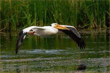 Example - Topaz AI applied - (Scavenger Hunt #21 - Bird in Flight - American White Pelican)