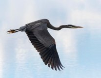 Topaz AI Example - Great Blue Heron in Flight - Diane Hopp