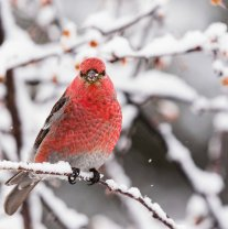 Male Pine Grosbeak - Diane Hopp