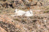 Yukon Trip - Goats at Yukon Wildlife Preserve