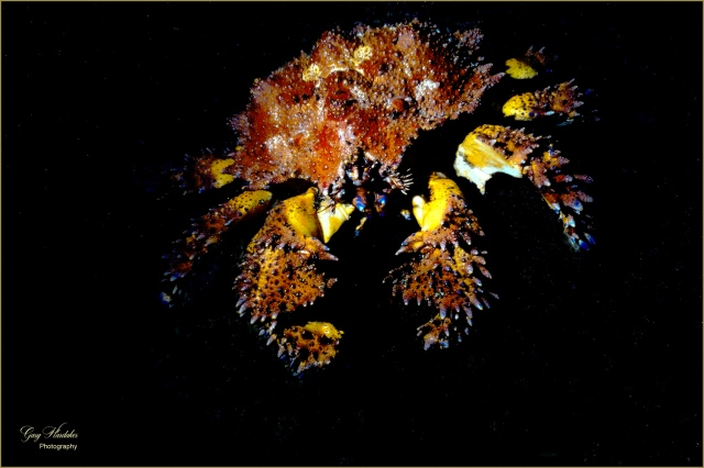 Puget Sound King Crab (Dive 213)- Gary Hardaker