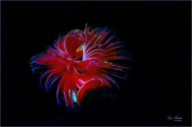 Serpulid (tube) worm (Dive 175)- Gary Hardaker
