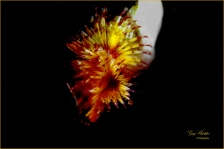 Striped tube worm (local)- Gary Hardaker