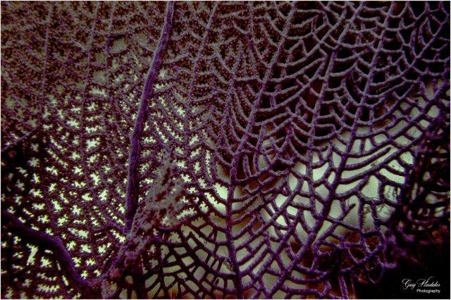 Coral Sea Fan (Palancar Reef)- Gary Hardaker