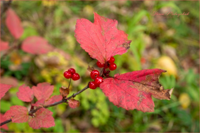 Highbush Cranberries - Gloria Melnychuk
