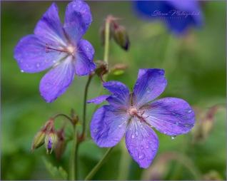 Purple Passion - Gloria Melnychuk