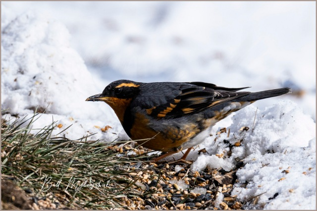 2004_GMP0584-Varied Thrush - Bill Melnychuk